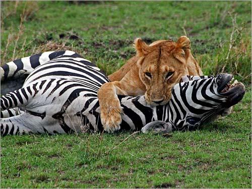 صور حيوانات مفترسة تاكل البشر , الحيوانات الخطرة علي الانسان