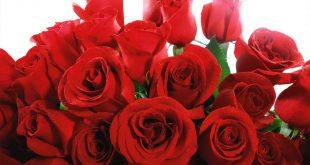 صوره صور ورود الحمراء , ورود رومانسية باللون الاحمر