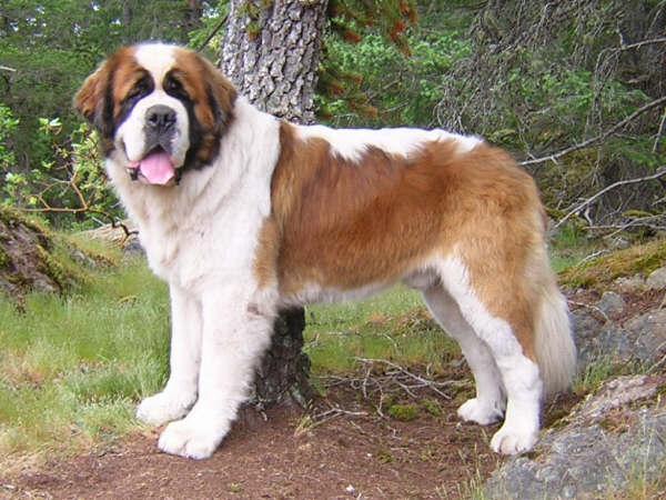 صورة اقوى كلاب بالصور , اشهر 10 انواع للكلاب 7910 1