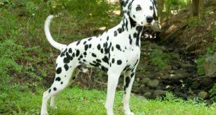صور اقوى كلاب بالصور , اشهر 10 انواع للكلاب