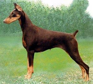 صورة اقوى كلاب بالصور , اشهر 10 انواع للكلاب 7910 5