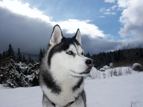 صورة اقوى كلاب بالصور , اشهر 10 انواع للكلاب 7910 7