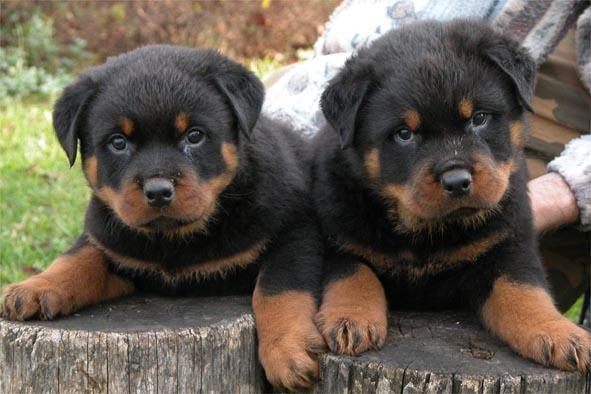 صورة اقوى كلاب بالصور , اشهر 10 انواع للكلاب 7910 9