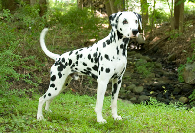 صوره اقوى كلاب بالصور , اشهر 10 انواع للكلاب