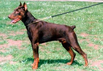 صور كلاب دوبر مان , معلومات عن انواع الكلاب