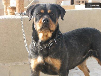 صوره روت فايلر rottweilers , اشهر انواع الكلاب