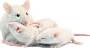 صورة تفسير حلم فار ابيض , رؤية الفئران في المنام