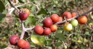 فوائد ثمار السدر , فوائد فاكهة السدرة