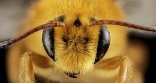 صورة فوائد قرص النحل, فوائد قرص النحل للتخسيس