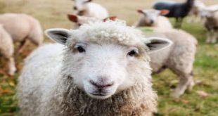 صورة رؤية ذبح خروف في المنام, ذبح الخروف في المنام للرجل