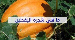 صورة ما هي شجرة اليقطين, القيمة الغذائية لليقطين
